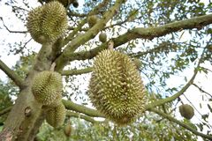 Durian trees Stock Photography