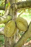 Durian trees Royalty Free Stock Image