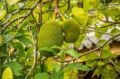 durian tropikalny owocowy Obrazy Royalty Free