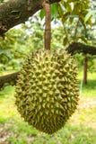 Durian verde fresco Fotografia Stock