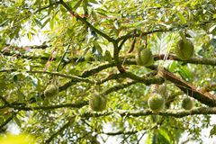 Durian was geëerd om de koning van fruit te zijn stock fotografie