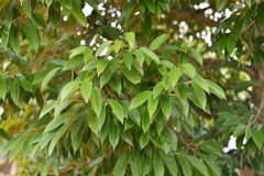 Durianbäume lizenzfreie stockfotos