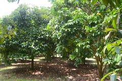 Durianbaum lizenzfreie stockfotografie