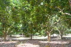 Durianbaum stockbilder