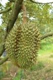 Durianbaum, frische Durianfrucht auf Baum, Durians sind der König von Früchten Lizenzfreie Stockbilder