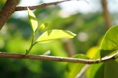 Durianblatt Stockfoto