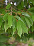 Durianbomen royalty-vrije stock foto's