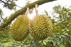 Durianboom, Vers durian fruit op boom stock afbeelding