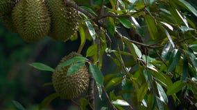 Duriandurio som hänger på en trädfilial Exotisk frukt av Thailand stock video