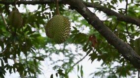 Duriandurio som hänger på en trädfilial Exotisk frukt av Thailand arkivfilmer