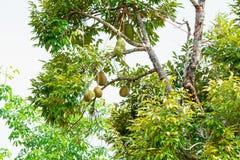 Durianen är en thailändsk frukt arkivfoto