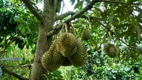 Durianen på trädet arkivbilder