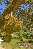 Durianfrucht Lizenzfreies Stockbild