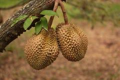 Durianfrucht Thailand Stockfoto