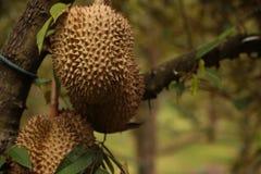 Durianfrucht Thailand Stockfotografie