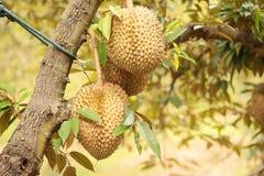 Durianfrucht Thailand Stockbild