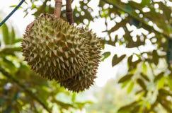 Durianfruit het hangen op een boom royalty-vrije stock fotografie