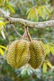 Durianfruit op boom Stock Foto's
