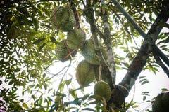 Durianfruit van Thailand stock foto