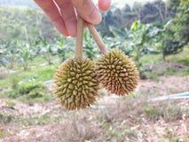 Durianfrukt i min hand Royaltyfria Bilder