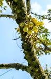 Durianfruktblomma royaltyfri bild