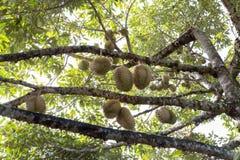 Durians στον κήπο Στοκ φωτογραφίες με δικαίωμα ελεύθερης χρήσης