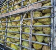 Durians στο ράφι αποθεμάτων Στοκ Εικόνα
