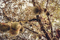 Durians bär frukt på filialen Arkivbilder