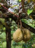 durians bär fruktt tripical Royaltyfri Fotografi
