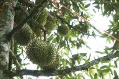 Durians da fruta de Tripical Imagens de Stock