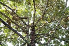 Durians-Garten Lizenzfreies Stockfoto