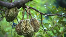 Durians hanging from tree, king of fruit in stock footage