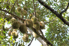 Durians i trädgården Arkivbild