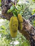 Durians på ett träd Royaltyfria Foton