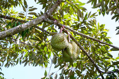 Durians på träd i trädgården Arkivfoton
