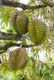 Durians på trädet Royaltyfri Bild