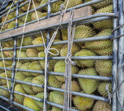 Durians in stock rack. Durians (king of fruit) in stock rack and tied with ropes Stock Image