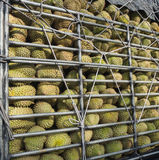 Durians in stock rack. Durians (king of fruit) in stock rack and tied with ropes Stock Photos