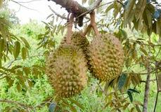 Durians sull'albero Fotografia Stock
