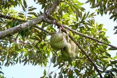 Durians sull'albero nel giardino Fotografie Stock