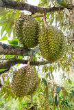 Durians on the tree Royalty Free Stock Image