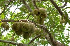 Durianskonung av frukt Arkivbilder