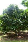 Durianträd arkivfoto