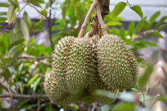 Durianu auf Baum Stockfoto