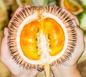 Durio conatus Mandong, new species of durians that found in Borneo, with fresh orange flesh stock photo