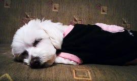 Durmiendo poco dogy Imagen de archivo libre de regalías
