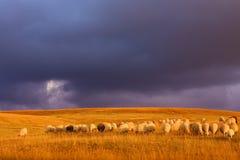 Durmitor pasta com um rebanho dos carneiros antes do por do sol Imagem de Stock Royalty Free
