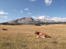 The Durmitor`s panorama. The Cows on the meadow,The Durmitor mountain at the background Stock Images