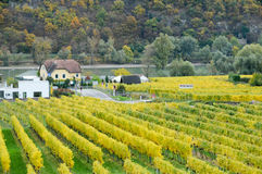 Beautiful wine growing in autumn around Durnstein town,Austria Royalty Free Stock Image