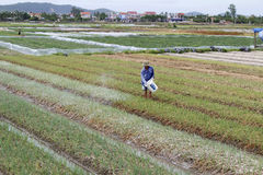 Duro lavoro vietnamita non identificato degli agricoltori nel campo della cipolla Fotografia Stock